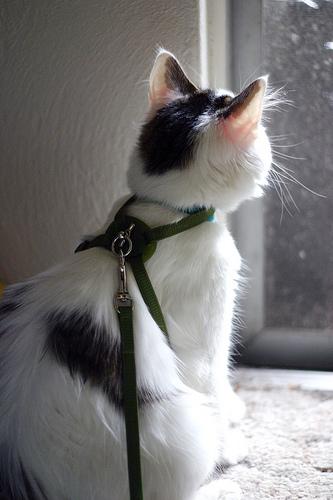 Cat in a Harness